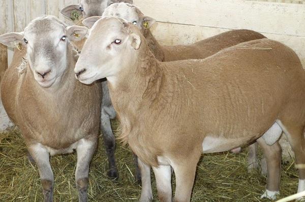 необычные породы овец