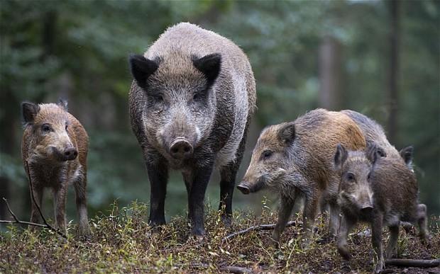 В Эстонии нашли диких кабанов с антителами к АЧС