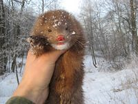Ставропольские звероводы представили жюри лучшие породы норок
