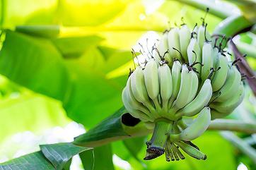 Изменение климата на Земле ускорило распространение банановой болезни
