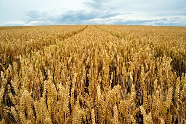 В Париже котировки на пшеницу последовали примеру Чикаго