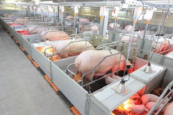 Чиновники: АЧС не приведет к дефициту мяса в Новгородской области