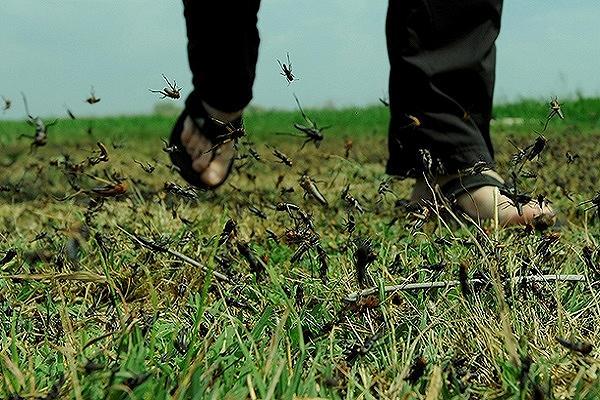 В Дагестане против саранчи обработают 100 тыс. га полей и пастбищ