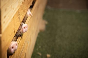 Россия вошла в пятерку крупнейших мировых производителей свинины