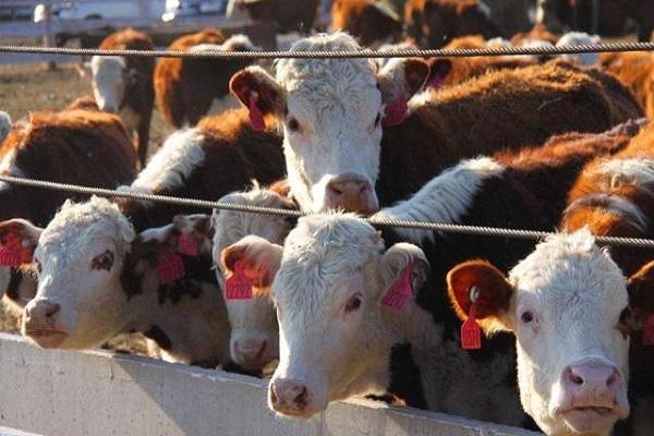 Стадо КРС в Приамурье пополнилось 916 племенными коровами