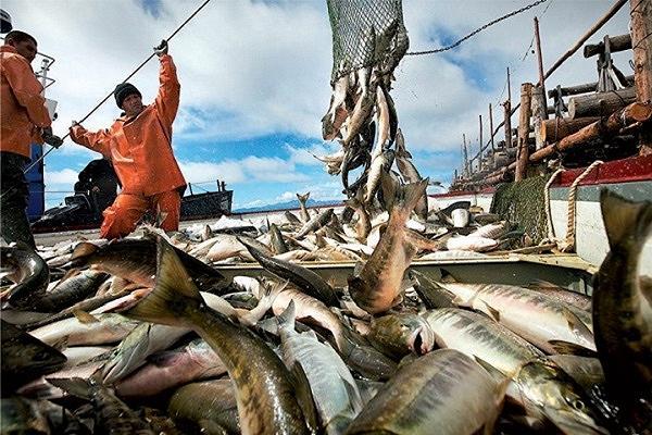Объем добычи лосося приблизился к 600 тысячам тонн