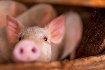 Квота и пошлина на экспорт зерна понизят себестоимость свинины