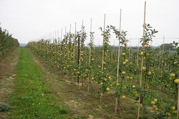 На Кубани посадили 2,3 тысячи гектар фруктовых садов