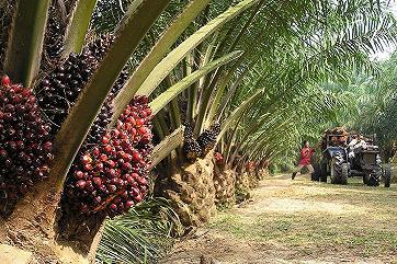 Индонезия резко повысила экспорт «пальмы» из-за растущего спроса