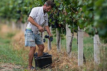 Господдержка отечественного виноделия увеличится более чем в 2 раза