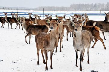 Нижегородцы начали разводить оленей на мясо